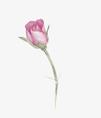 彩色铅笔月季花