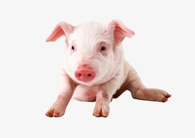 宠物猪 萌宠 四脚动物             此素材是90设计网官方设计出品