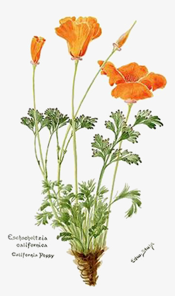 手绘荷兰罂粟