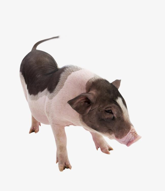 壁纸 动物 狗 狗狗 猪 650_752