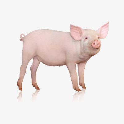 梦见一头猪很凶的猪
