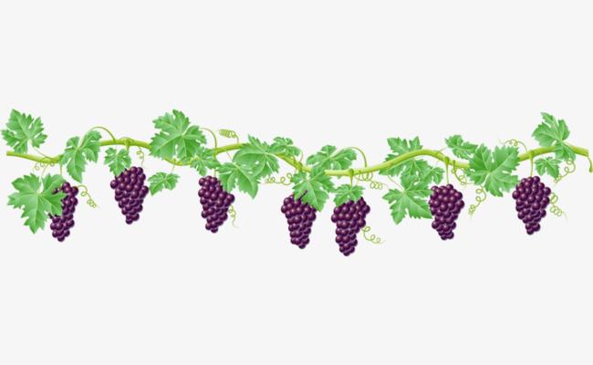 葡萄和葡萄藤