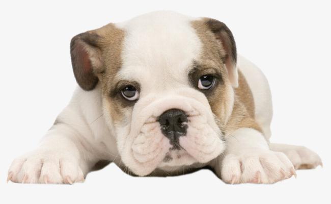 动物 实物 趴着 小狗             此素材是90设计网官方设计出品,均