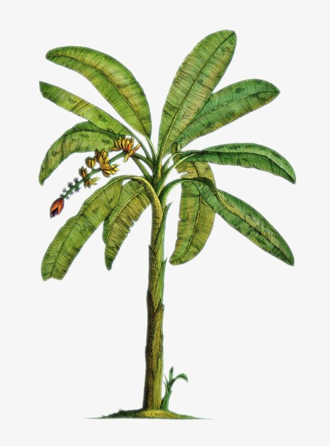 绿色的香蕉树免抠素材