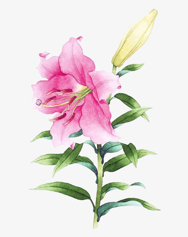 粉色百合花图片素材