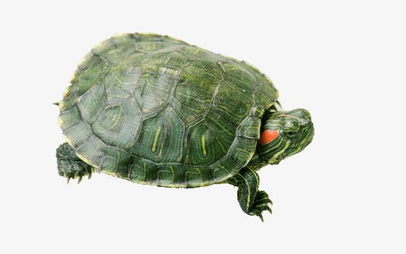 动物 龟 582_364