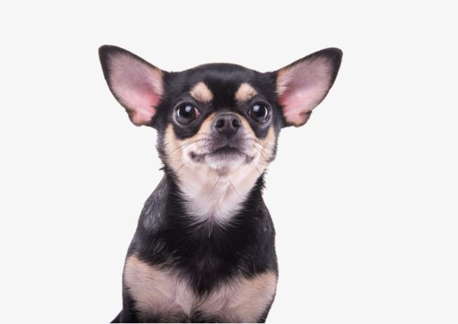 鹿娃娃狗图片_吉吉娃娃狗_吉娃娃狗