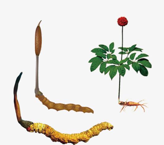 图片 > 【png】 补品冬虫夏草  分类:手绘动漫 类目:其他 格式:png 体