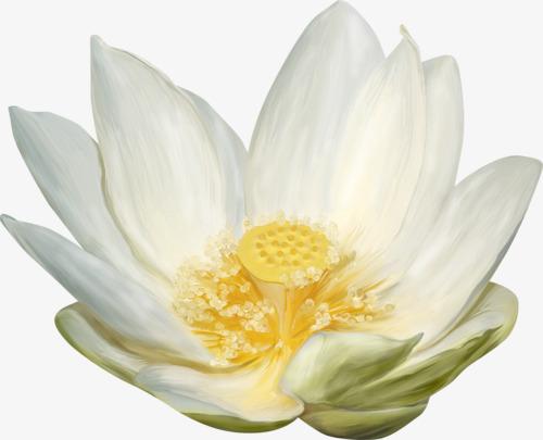 手绘白色莲花
