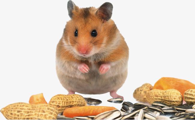 吃花生的小老鼠图片