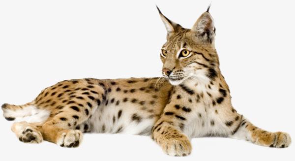 大型猫科动物花豹