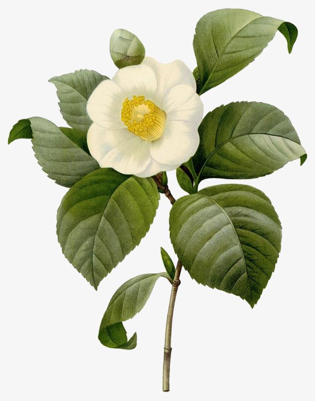 茶花与叶子矢量素材图片免费下载 高清卡通手绘psd 千库网 图片编号5885298