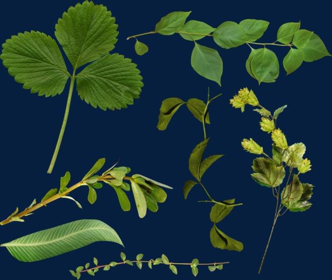 春天各种树叶图片
