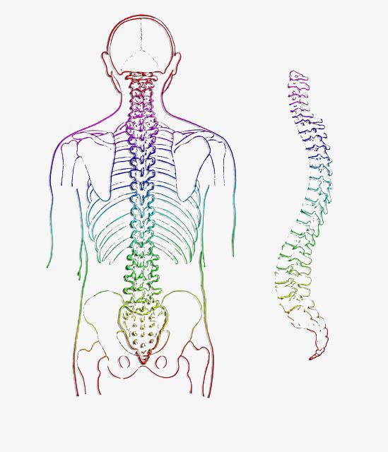 人体脊椎手绘