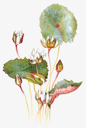 一组手绘莲花