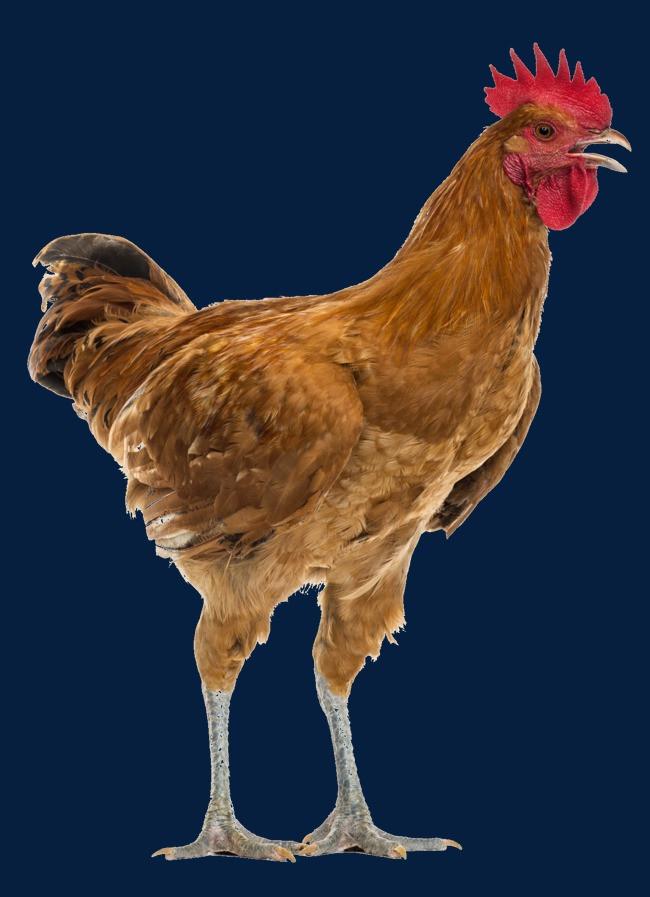 公鸡 动物 摄影 写实 打鸣 素材             此素材是90设计网官方