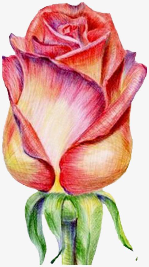 玫瑰花彩铅手绘