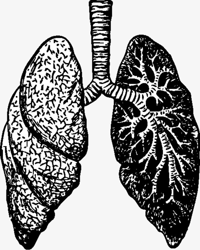 手绘的肺叶