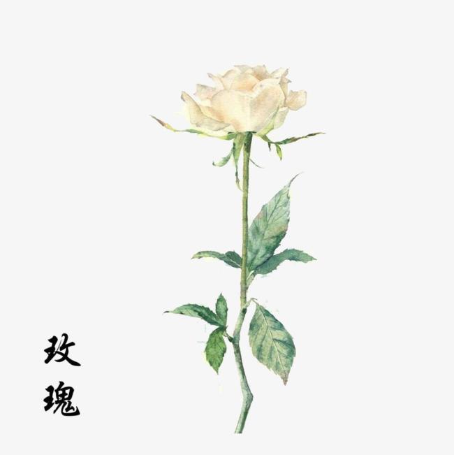 手绘白色玫瑰花素材
