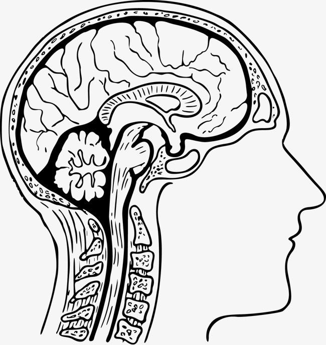矢量大脑图片