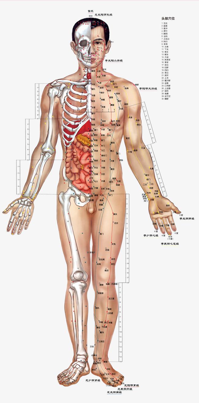 人体骨头分布图_人体正面穴位骨骼分布