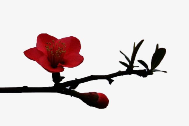 一枝梅花图片