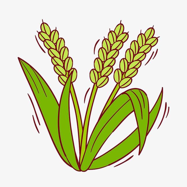 水稻 手绘
