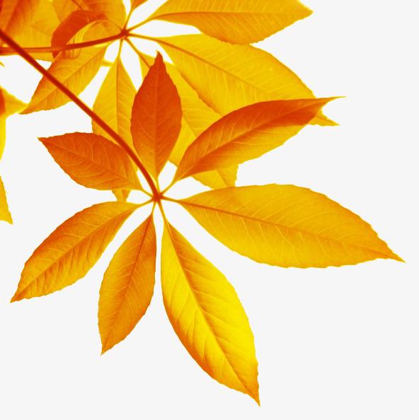 秋天黄色落叶图片