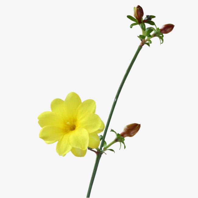 嫩黄迎春花png素材-90设计