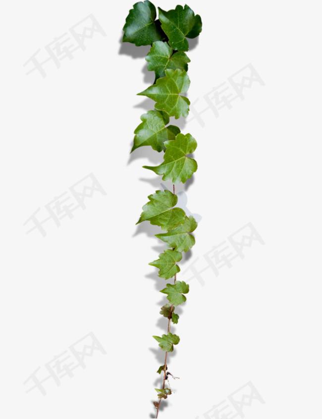 手绘爬山虎爬山虎植物绿色植物藤蔓爬山虎藤蔓