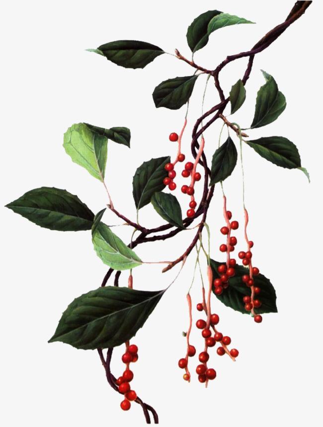 手绘五味子植物图片素材