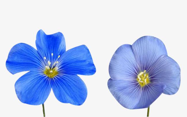 亚麻籽花类图片素材