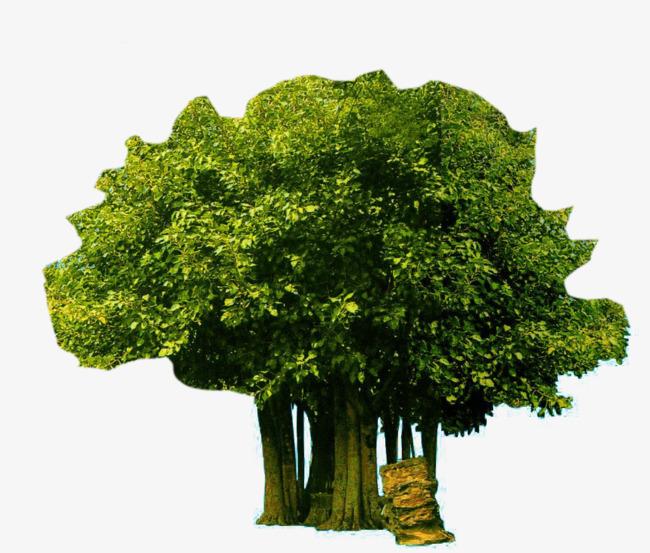 几颗菩提树图片素材