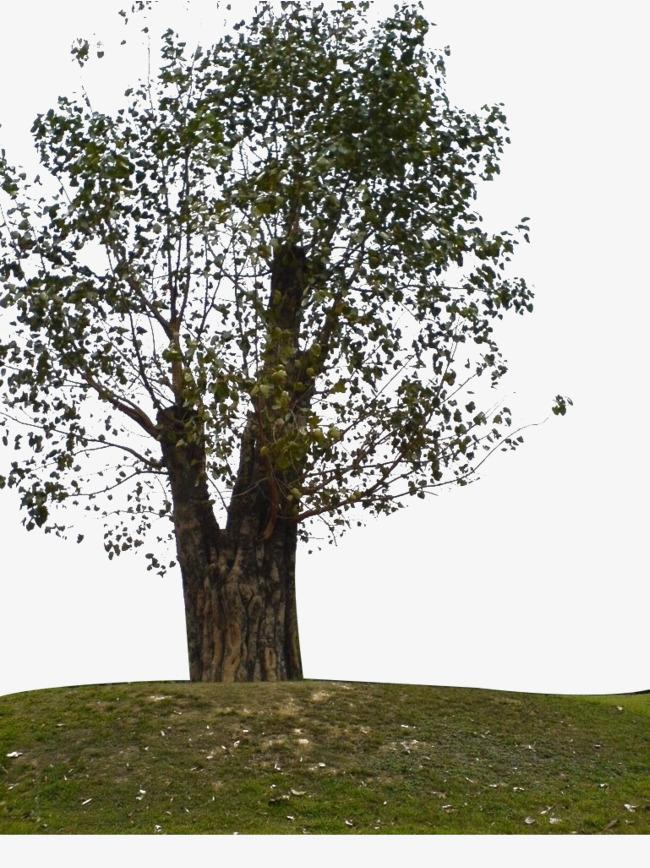 大颗菩提树图片素材