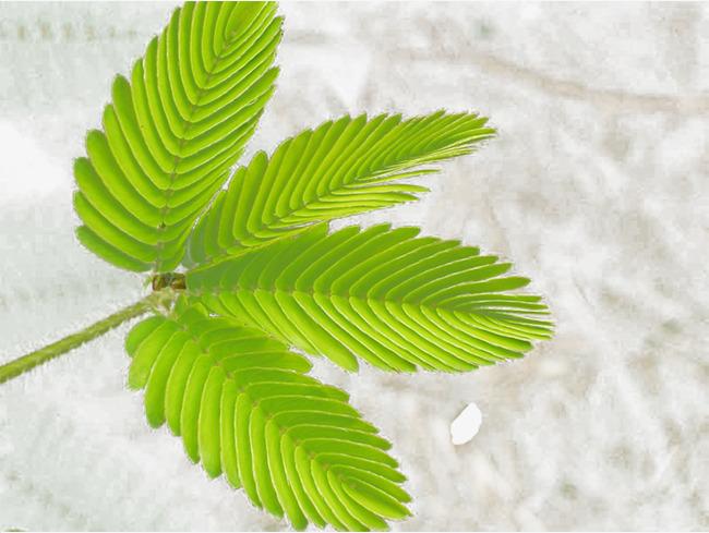 含羞草叶子图片