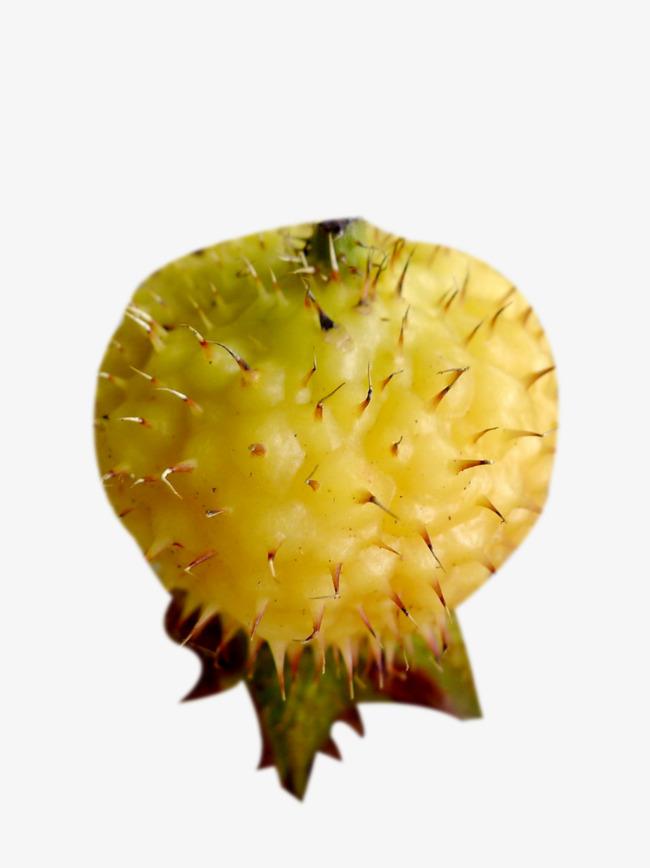 黄色刺梨图片素材