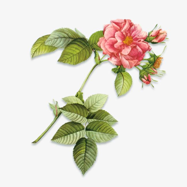 手绘月季花装饰图案