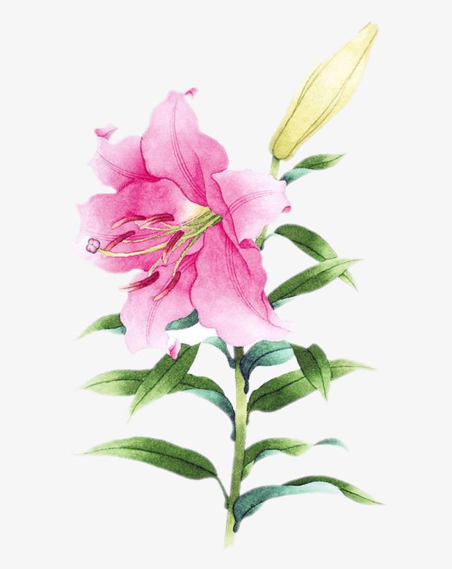 手绘粉色百合花