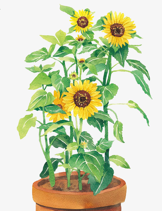 手绘水彩向日葵