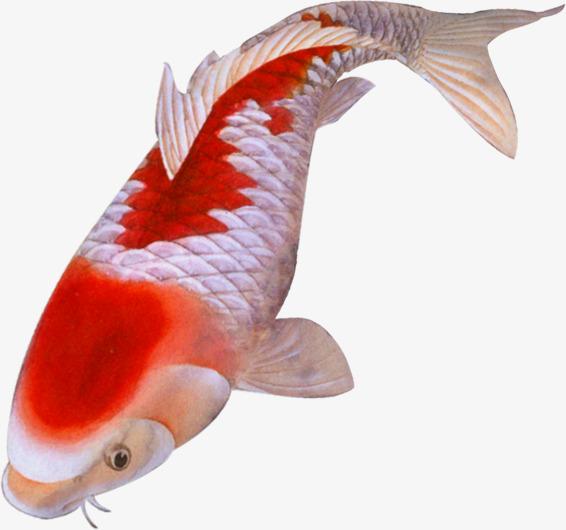 手绘红色鲤鱼