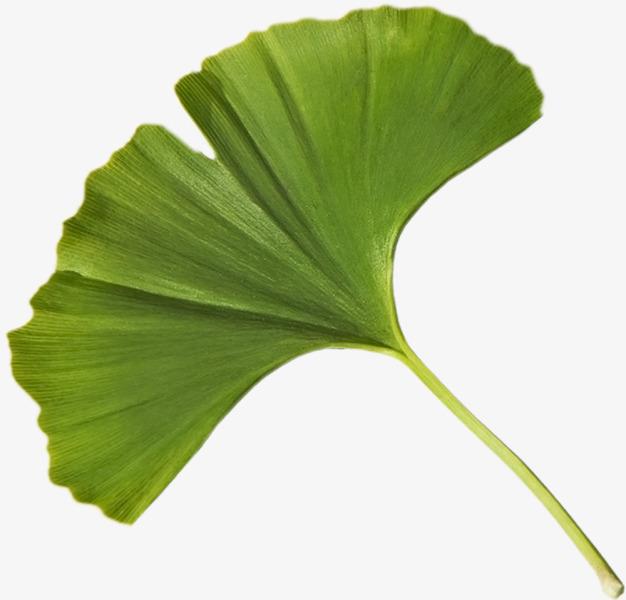 图片 银杏叶子 > 【png】 绿色银杏叶  分类:手绘动漫 类目:其他 格式