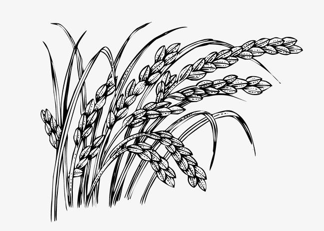 手绘的稻谷