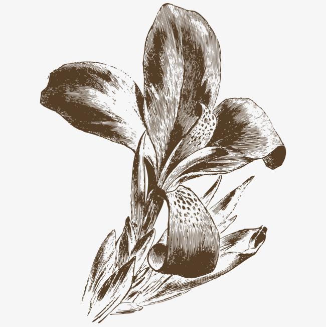 手绘素描绘画百合花