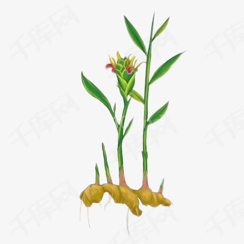 植物 生姜 生姜叶 调料素材图片免费下载 高清psd 千库网 图片编号8237547