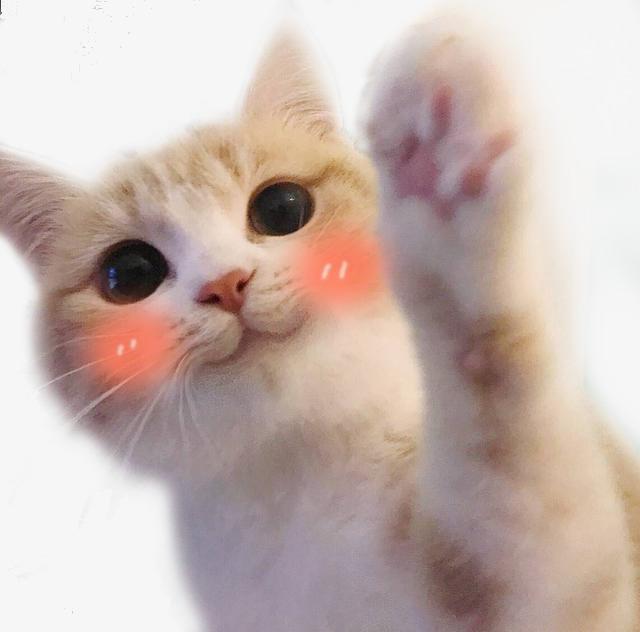 可爱猫咪脸红表情包png素材下载_高清图片png格式(:)