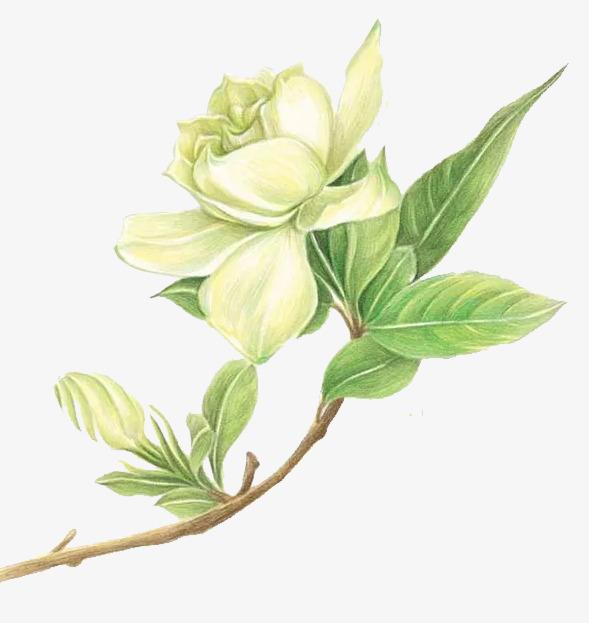 手绘栀子花