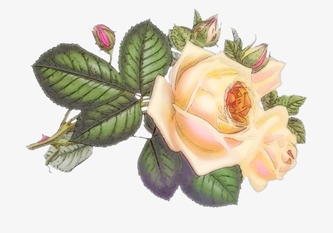 手绘的月季花