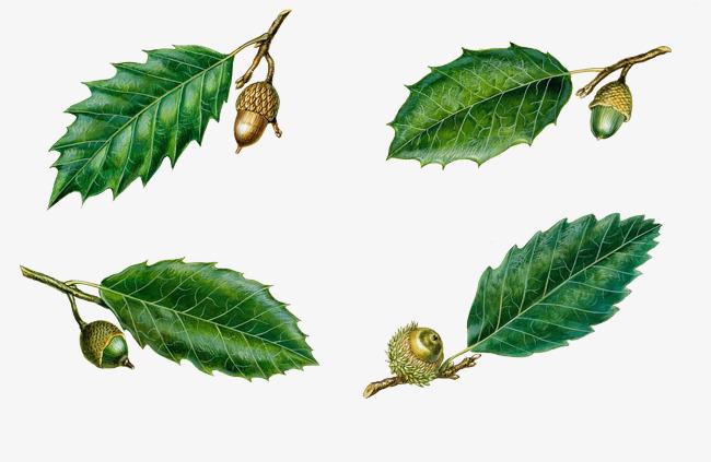 锯齿状叶子 橡子图片