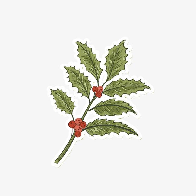 枸骨叶冬青 浆果 叶子 绿色植物 手绘 锯齿状 冬青树             此图片