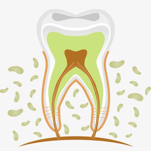 牙齿立体解剖图